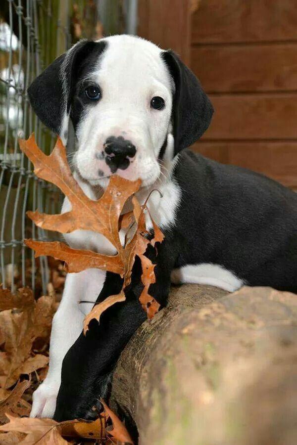 I Really Want This Dog Great Dane Dogs Dane Dog Dane