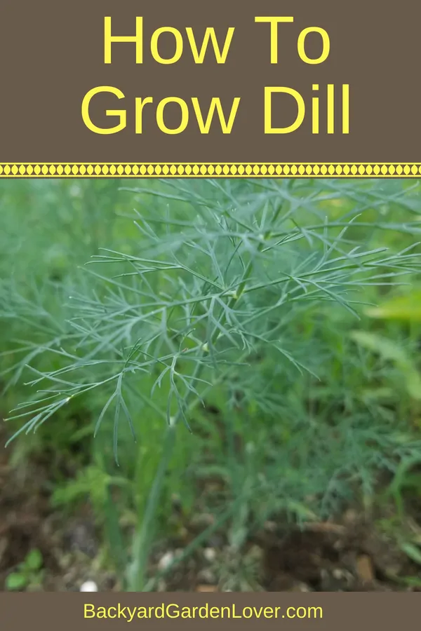 How To Grow Dill And How To Save It For Winter is part of How to grow dill, Organic vegetable garden, Dill, Organic gardening tips, Hydroponic gardening, Growing vegetables - Everyone needs to learn how to grow dill it's easy to grow and a wonderful herb loved by cooks everywhere  Don't forget to dry some of it for winter!