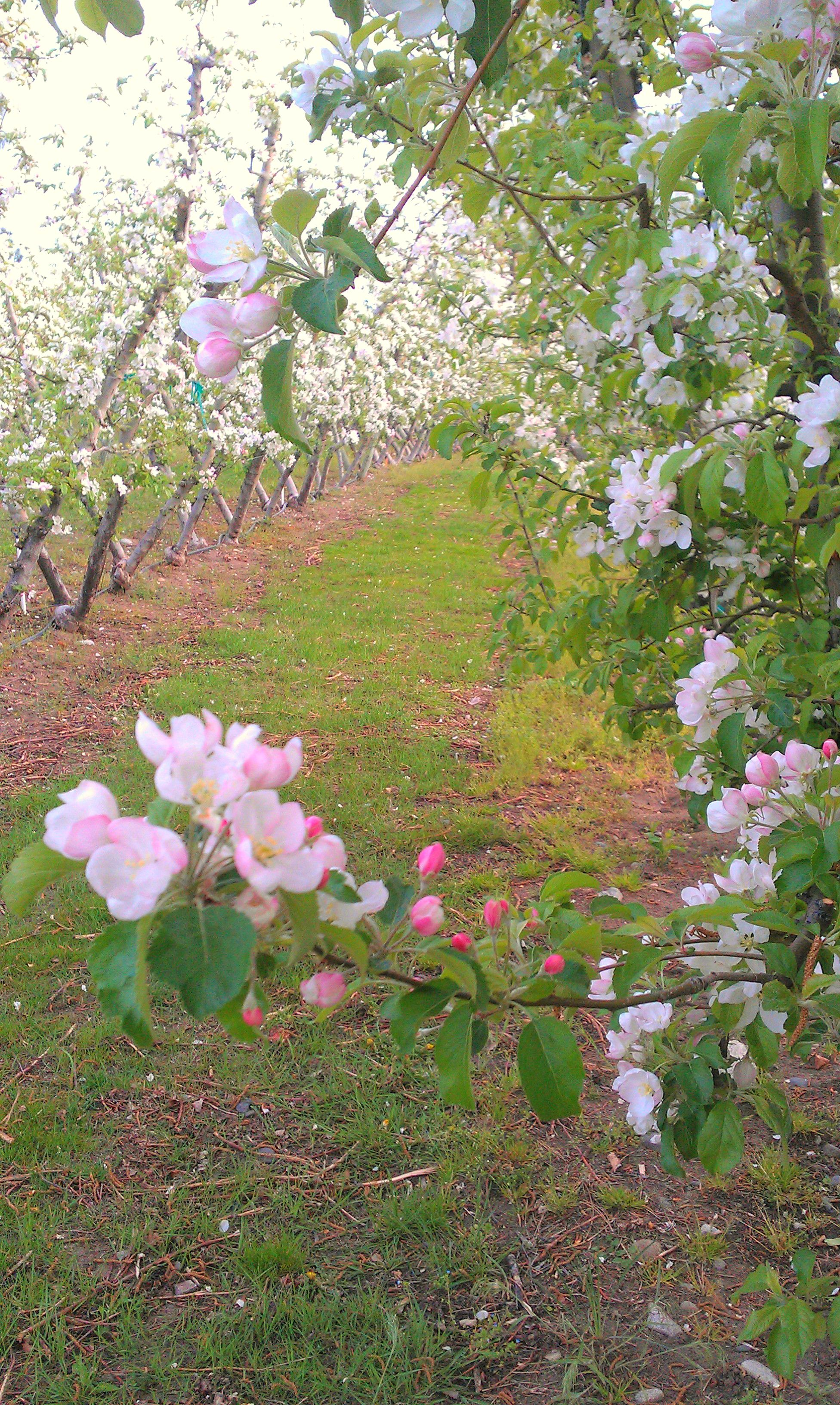 The Apple Blossoms In The Orchard.D Mother Nature At Her Best. Find This  Pin And More On Gardens Are Us ...