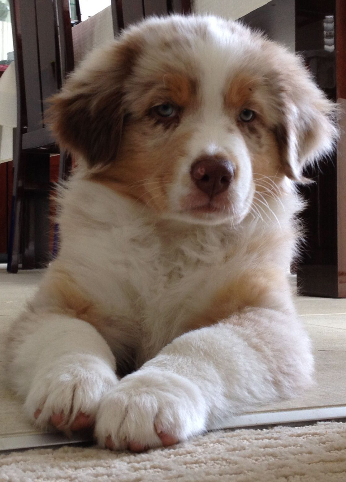 Pin By Lauren Kelly On Closed Pin Your Pet To Win Competition Australian Shepherd Puppies Australian Shepherd Aussie Puppies