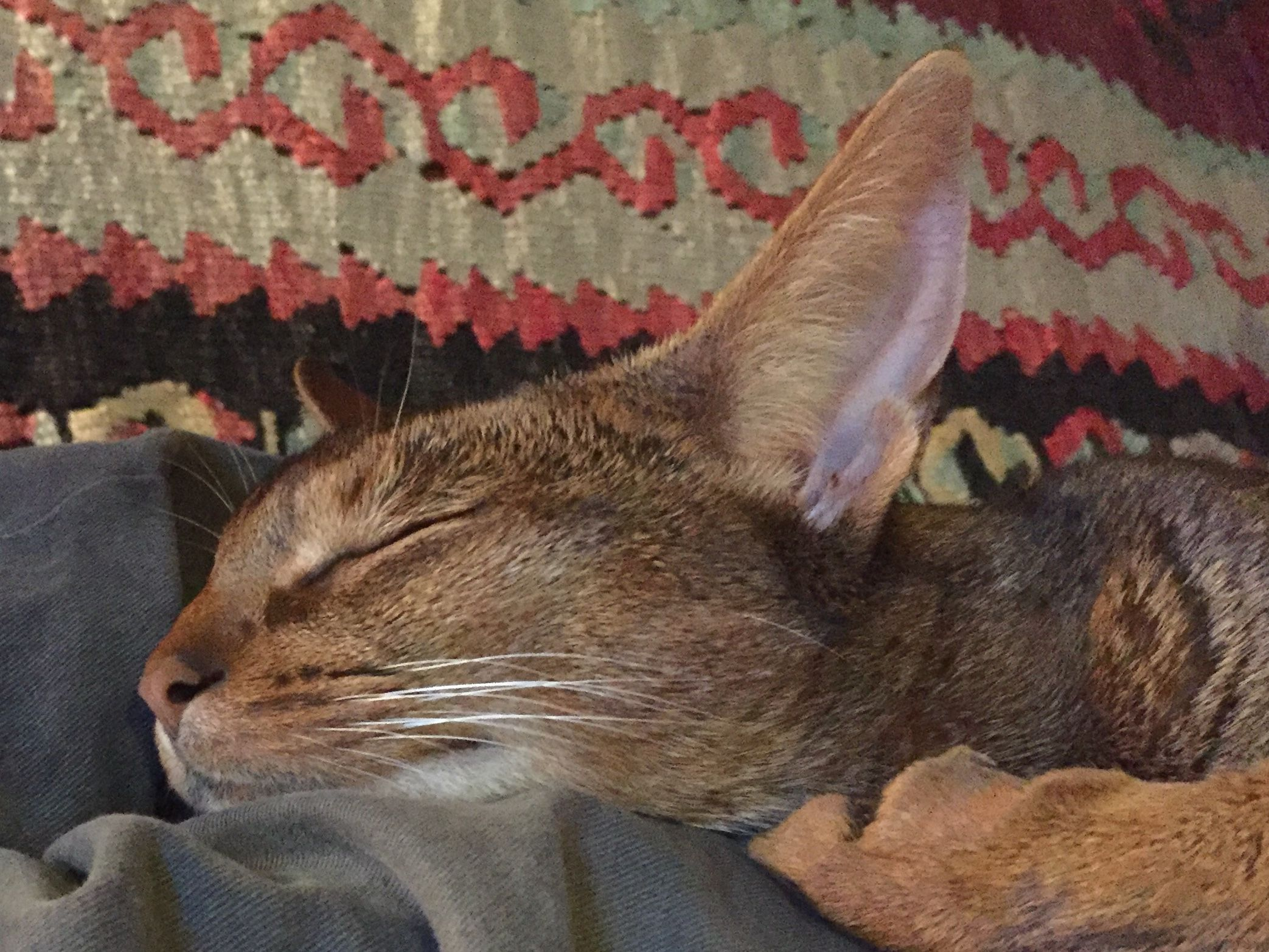 Pin by Becky Haugen on Abyssinians | Pinterest | Abyssinian, Cat ...
