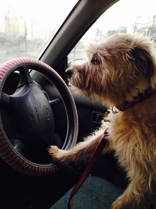 Tilly likes to take the car for a spin whilst Gerri is at work.