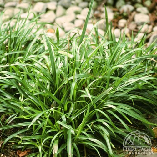 Luzula sylvatica for dry shade blocks weeds garden for Short variegated grass