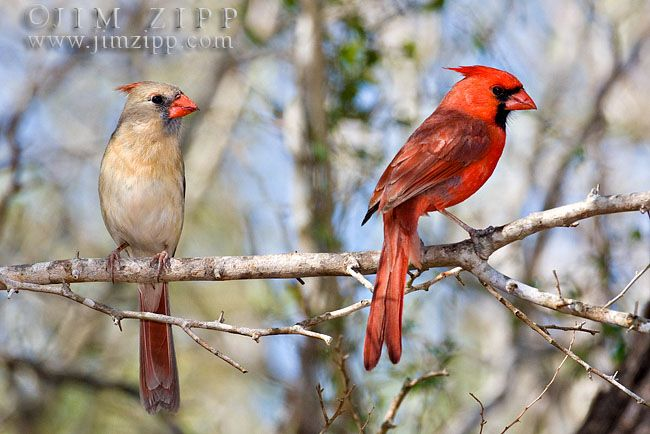 Texas Cardinals Birds Northern Cardinal Male And Female