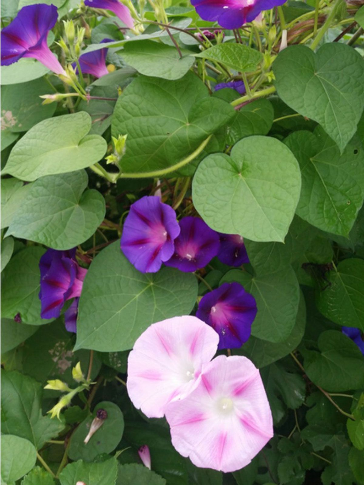 Morning Glory Trimming When And How To Prune Morning Glory Plants In 2020 Morning Glory Vine Morning Glory Flowers Morning Glory Plant