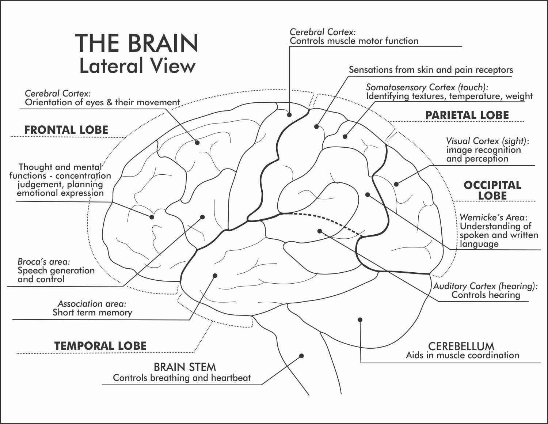 The Brain Labelled Lateral View In 2021 Brain Mapping Brain Diagram Brain Cortex [ 1160 x 1500 Pixel ]