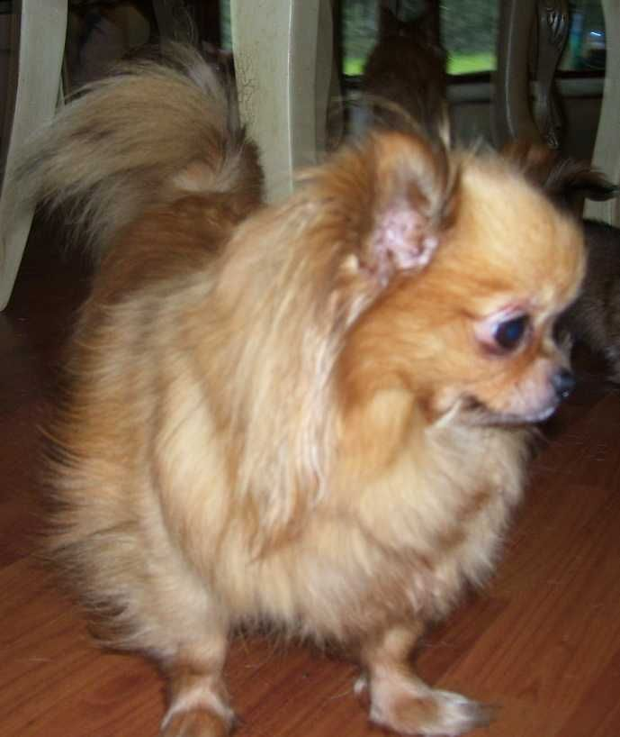Uey S Has Chihuahuas For You Dogs Chihuahua Puppies For