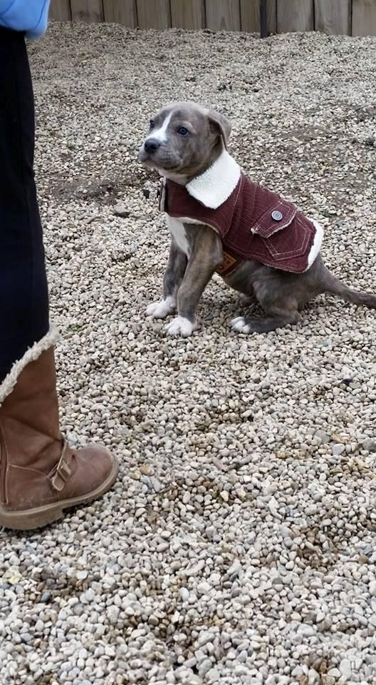 Adopt Starsky On Cute Animals Pitbull Terrier Cute Puppies