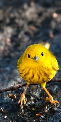 A Flock Of These Little Yellow Warblers Like To Sit On My Fence