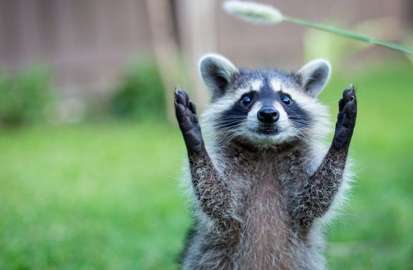 15 Intriguing Animals That Start With The Letter R Raccoon Paws Cute Animal Videos Wild Animal Wallpaper