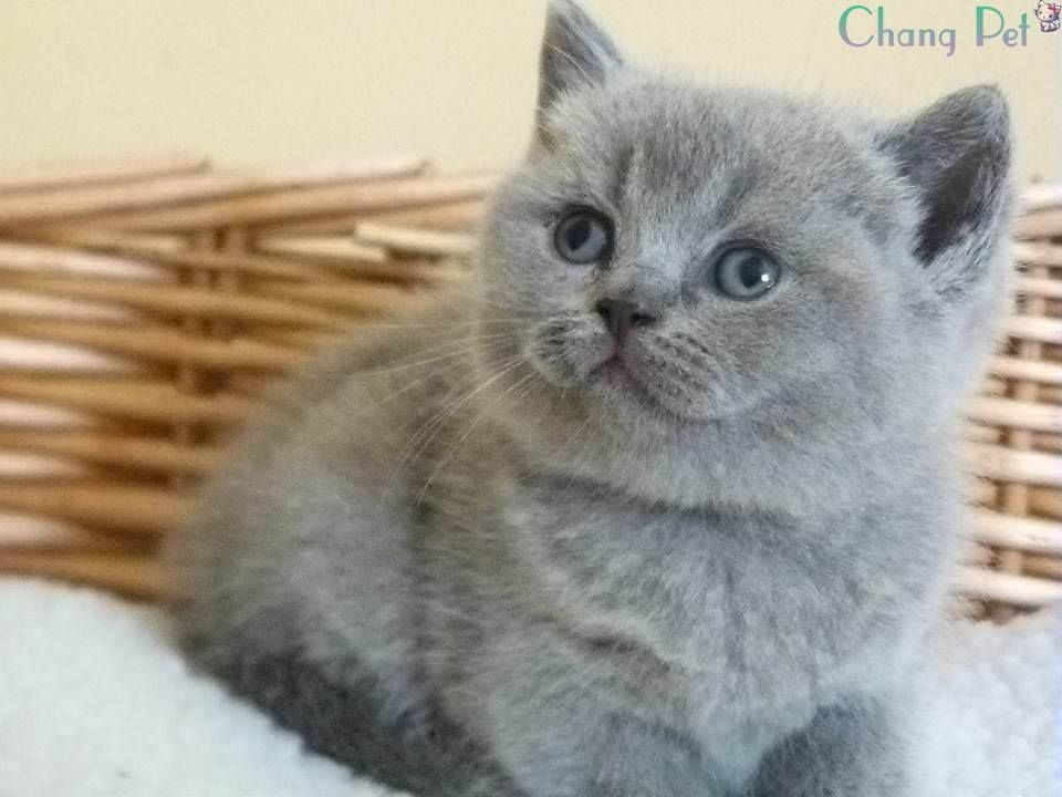 Business Tomato British Shorthair Breeders British Shorthair Cats British Shorthair Kittens