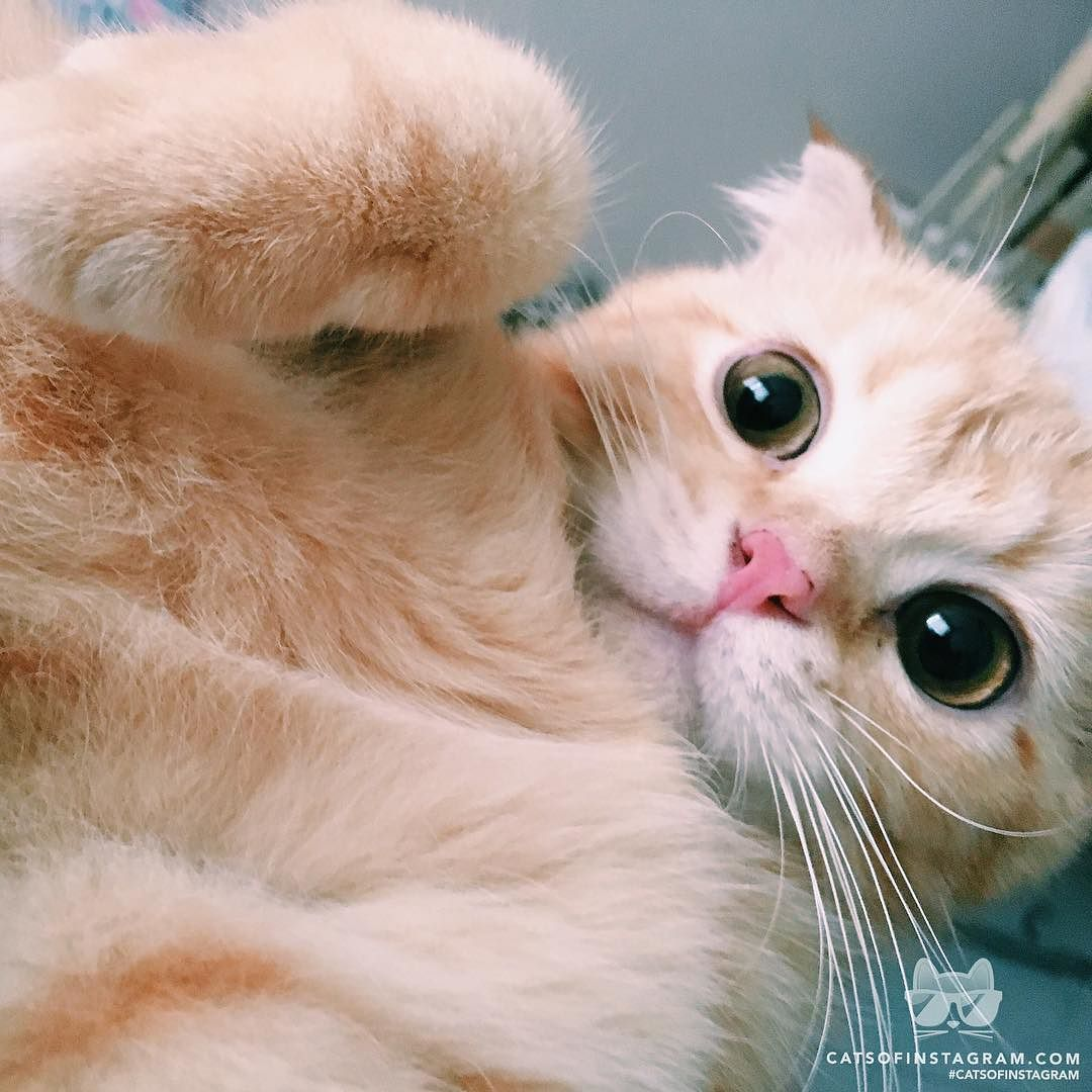 "catsofinstagram: ""From @butters_scottishfold: ""What are you doing human"" #catsofinstagram [source: http://ift.tt/2aGzJ8p ] """