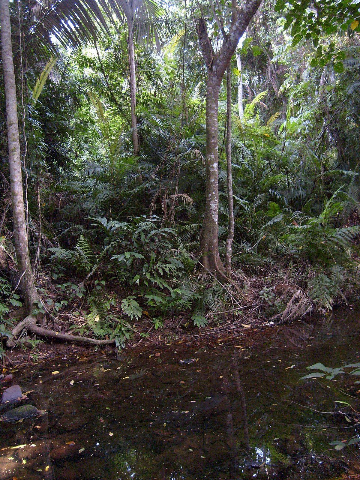 Jungle Wikipedia Rainforest, Nature