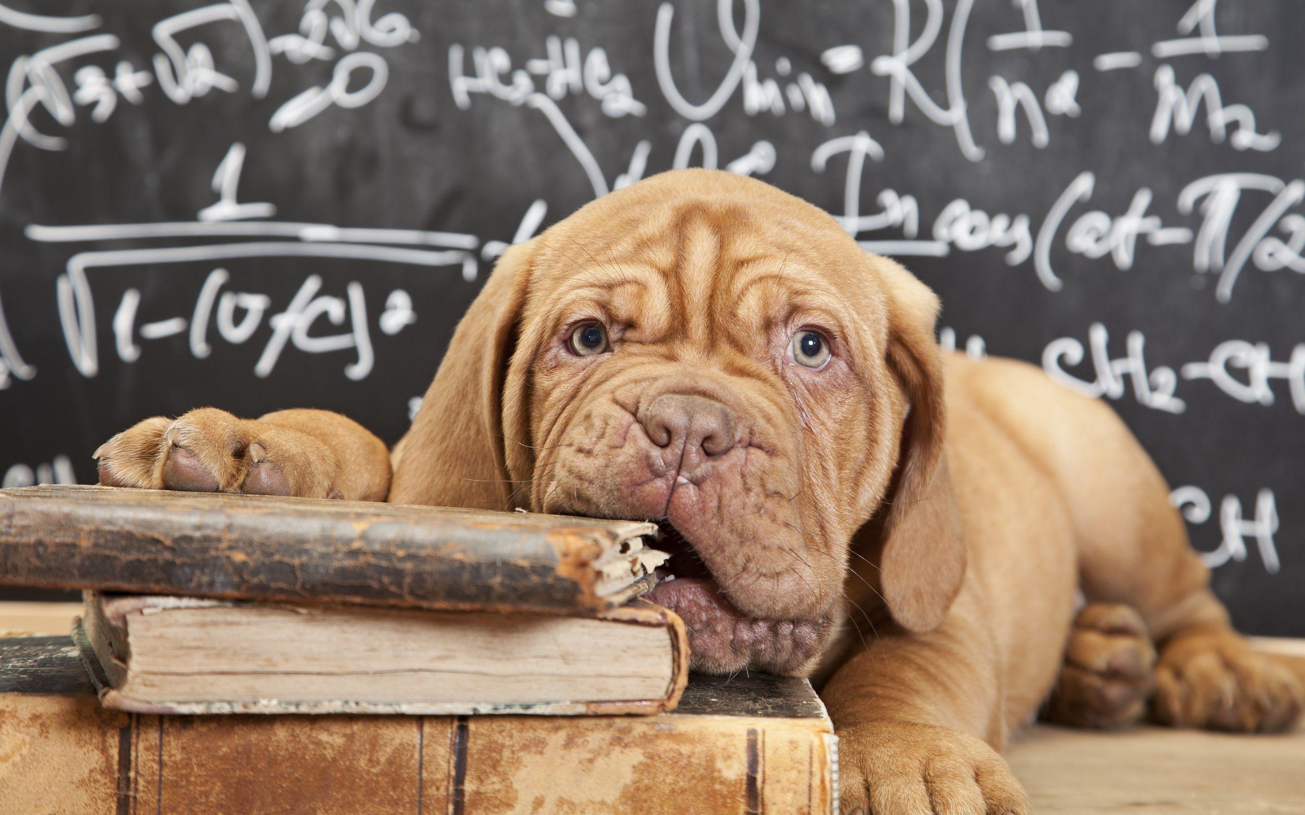 Dogue De Bordoux Puppy At School French Mastiff Dog Books Bordeaux Dog Dogs