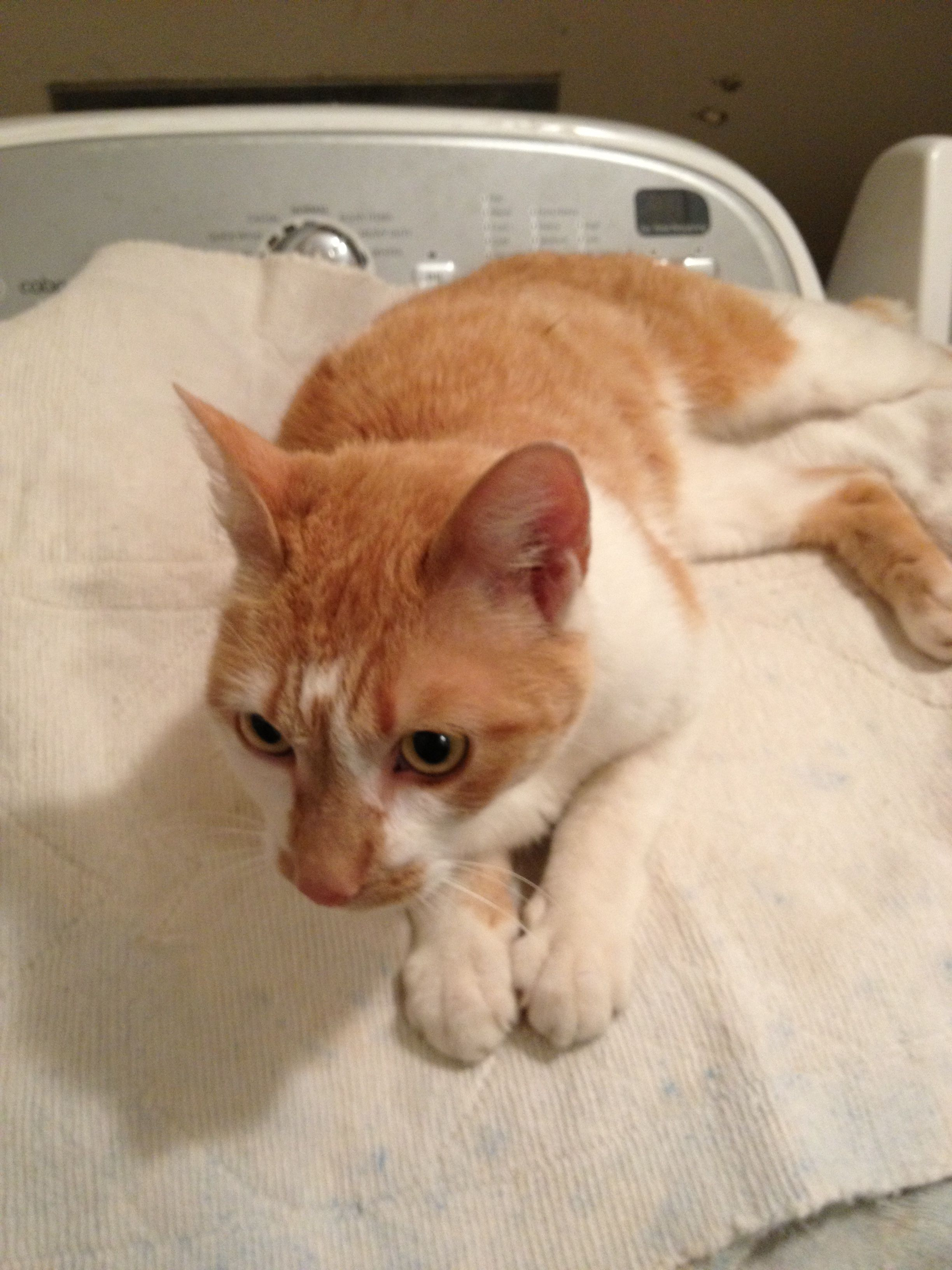 Found orange and white cat. We think that it is female but
