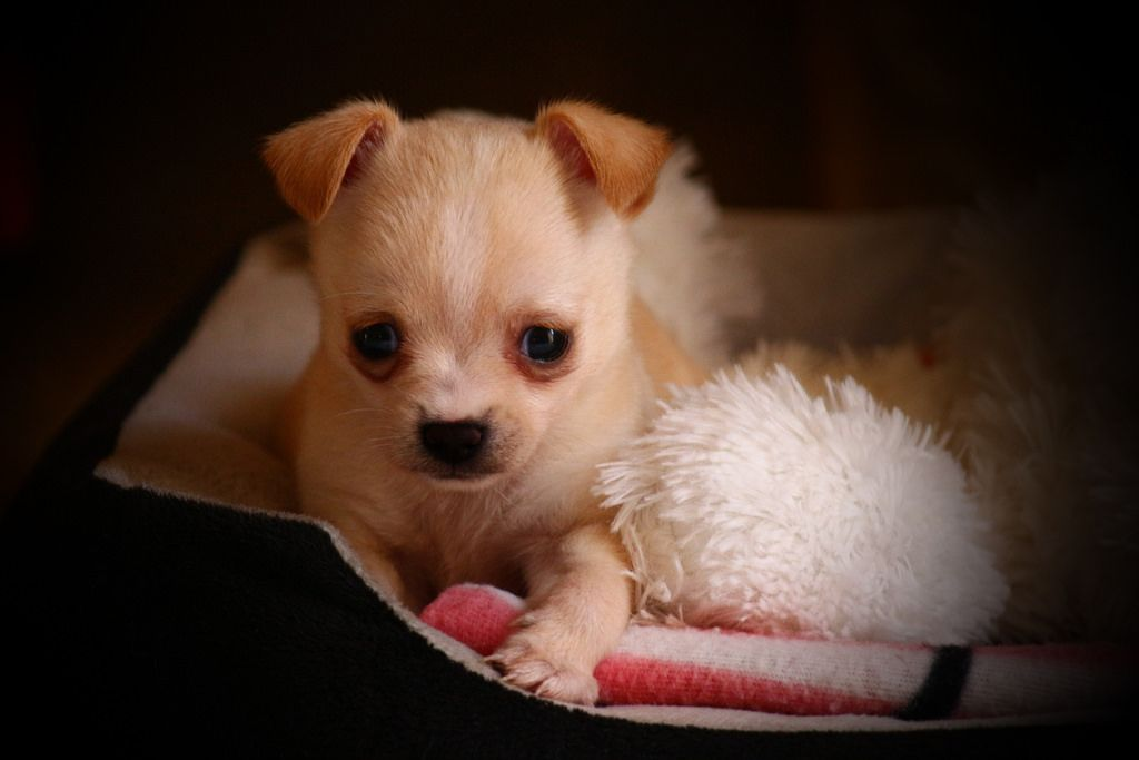 Ivy Cute Baby Animals Cute Puppies Chihuahua