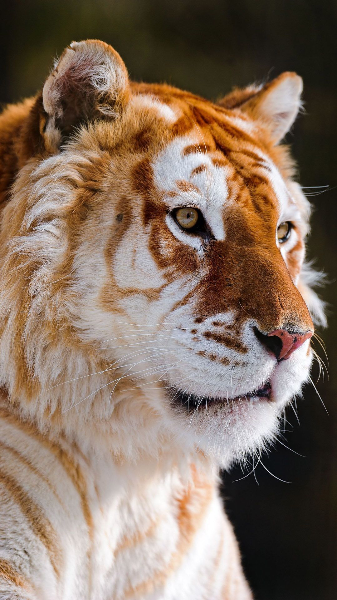 Tap And Get The Free App Animals Golden Tiger Orange Cool Cat