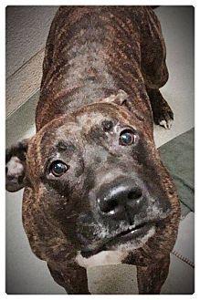 Fairfax, VA Boxer Mix. Meet Otis, a dog for adoption