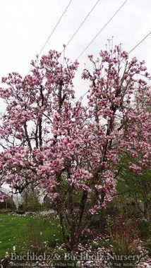 Magnolia Heaven Scent Plants Trees Plants Wholesale Nursery