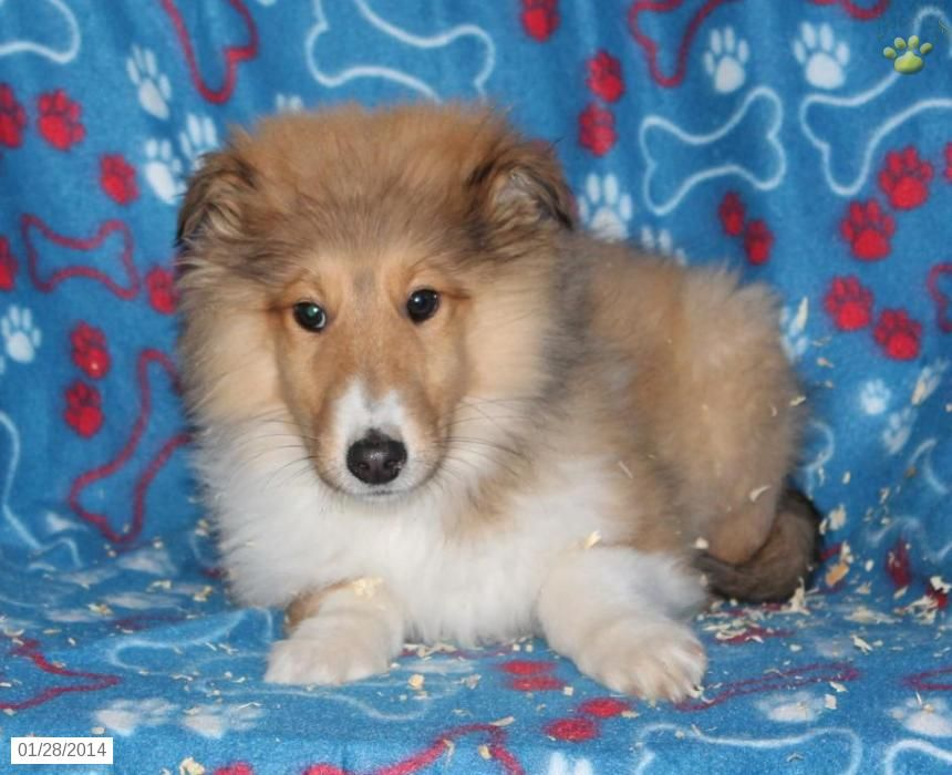 Dogs For Sale Collie Puppy For Sale In Reedsville Pa