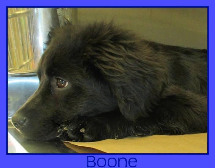 Adopt Nj Boone On Puppy Adoption Labrador Retriever Mix Labradoodle Goldendoodle