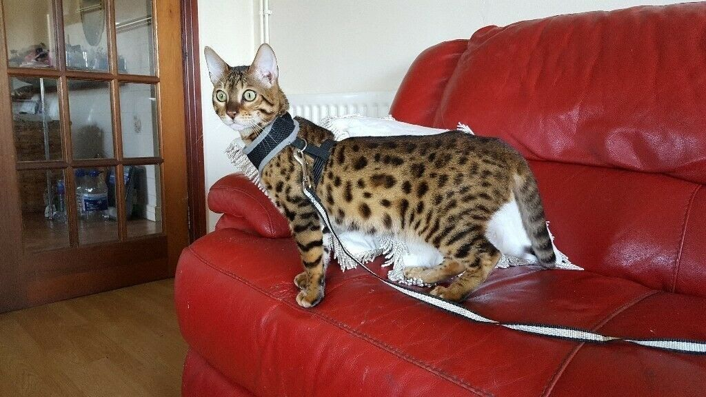 Bengal Kittens For Sale Male And Female Available In Lisvane