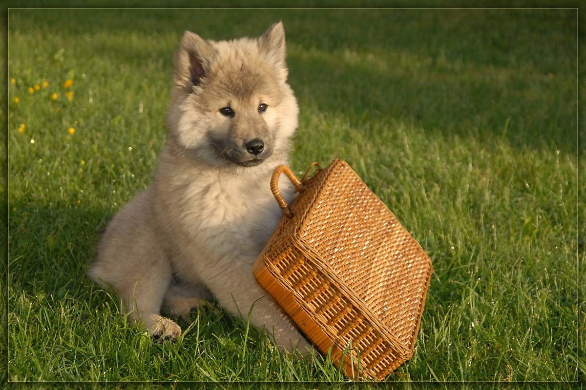 Eurasier puppy with a basket photo Dogs Pinterest