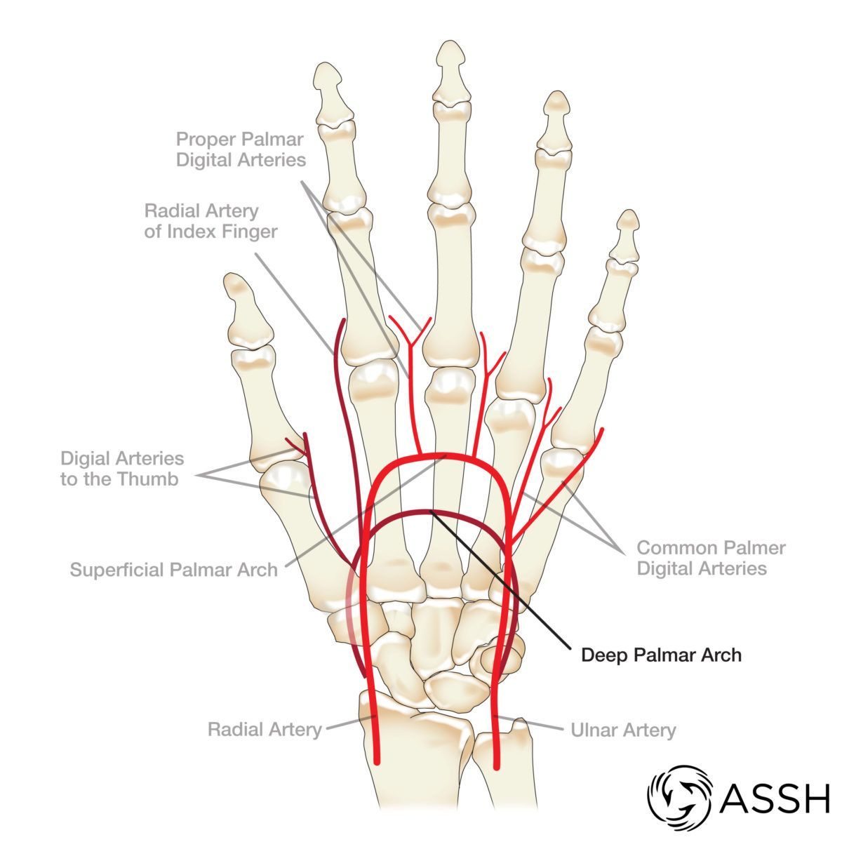 Arteries Of The Hand Anatomia Y Superficial