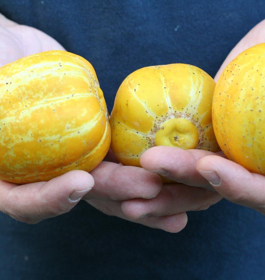 Lemon Cucumber – West Coast Seeds