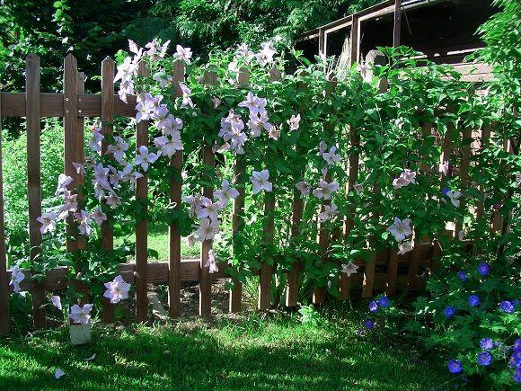 Kletterpflanzen Für Zaun Und Rankgitter   Seite 2   Gartengestaltung   Mein Schöner  Garten Online