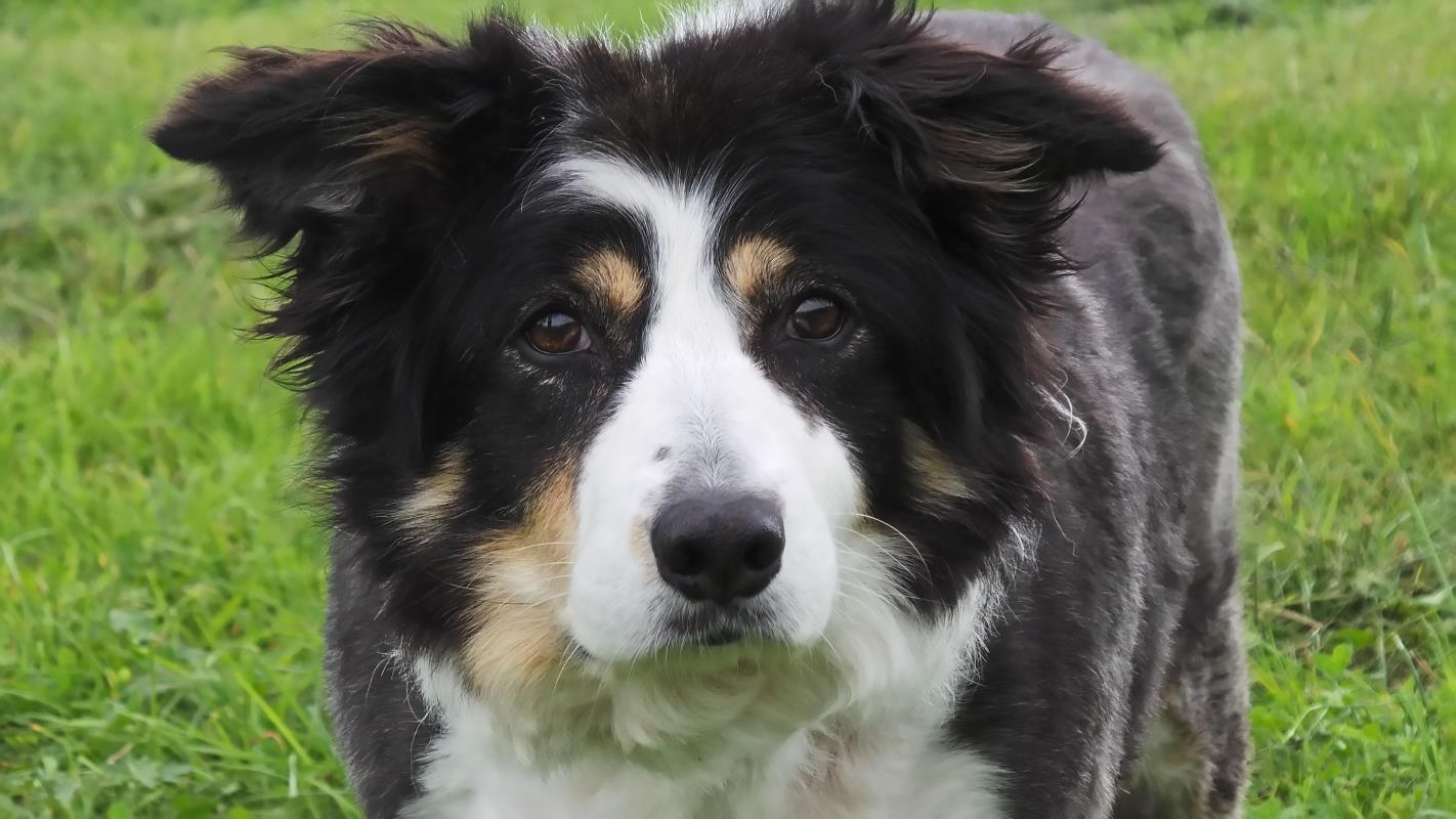 Adopt A Dog Kezzie Border Collie Dogs Trust Dogs Dog