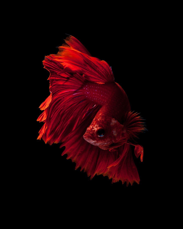 Red Siamese Fighting Fish By Jirawat Plekhongthu On 500px Siamese Fighting Fish Fish Wallpaper Betta Fish