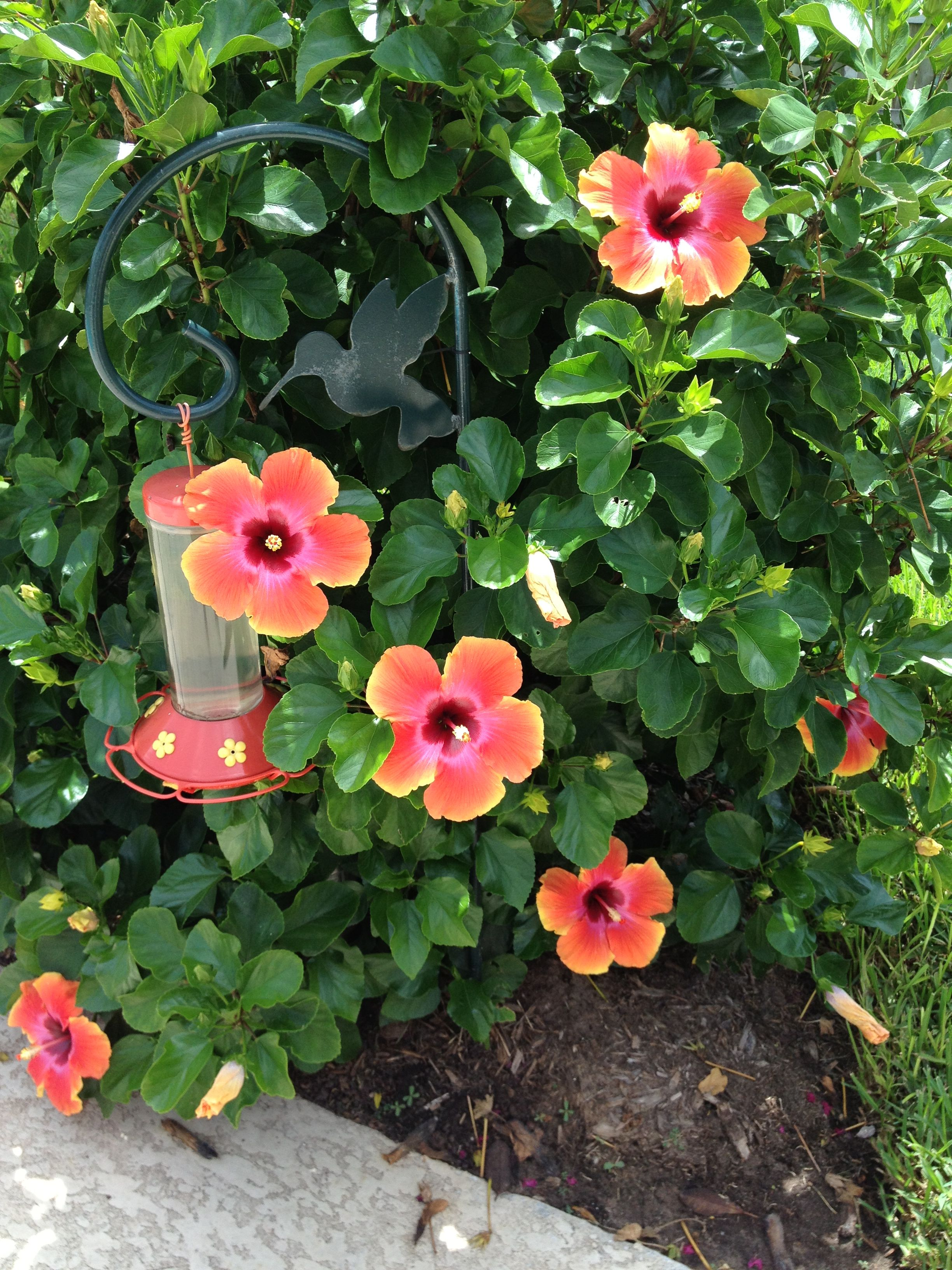 Hibiscus covered in bright multicolored blooms!   Gardens ...