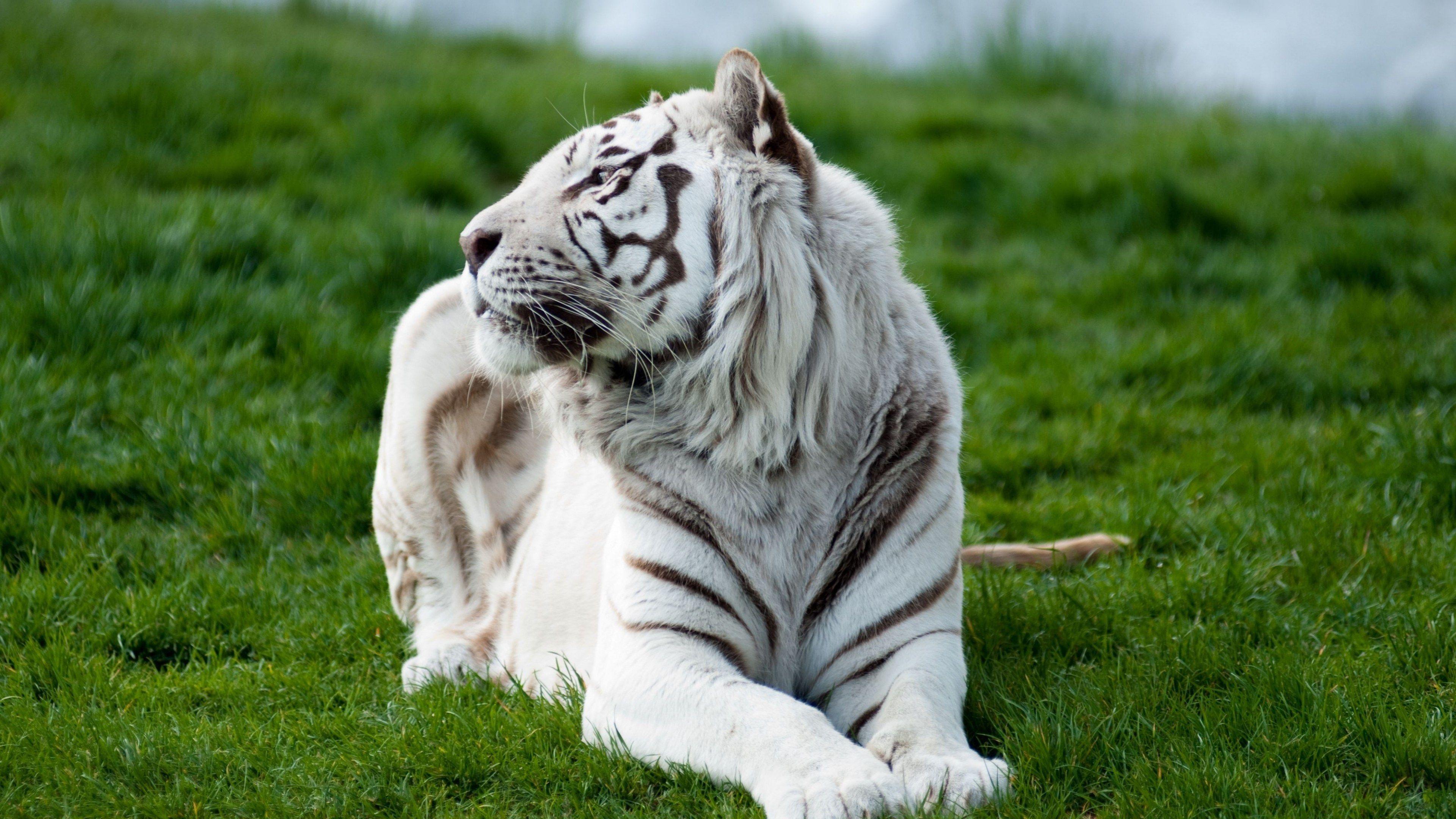 3840x2160 Tiger 4k Wallpaper Pc Full Hd Bolshie Koshki Belye Tigry Zhivotnye