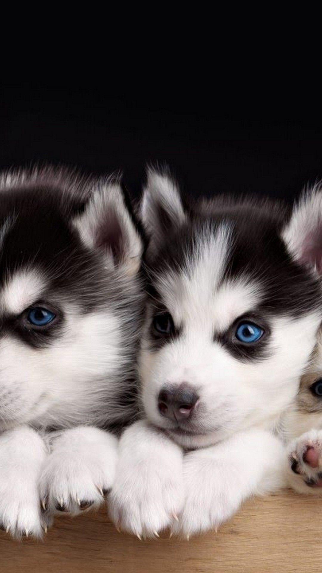 Iphone Wallpaper Cute Puppies Best Iphone Wallpaper Siberian Husky