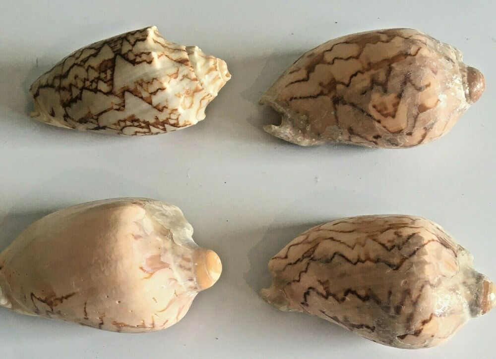 4 Livonia Mammilla Shells, Or False Melon Shells, Approx. 6cm Long, 153  Grams