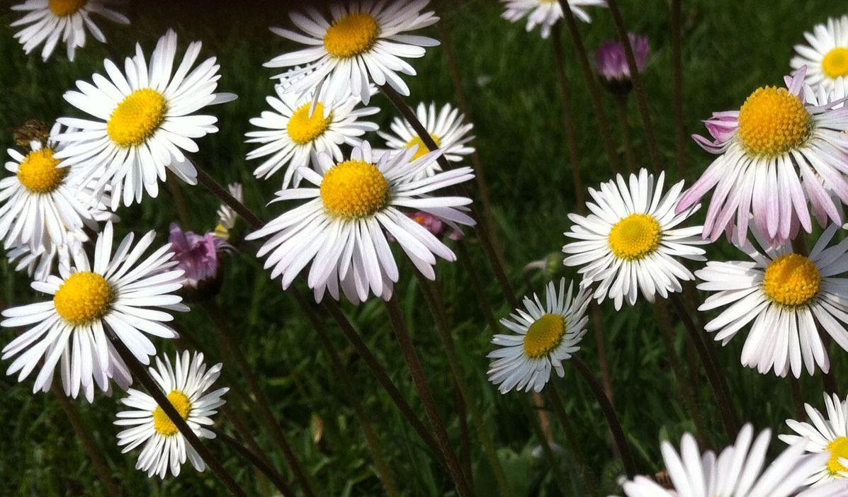 #bentornataprimavera!! Margherite nel giardino L'Erbolario: la meraviglia della semplicità