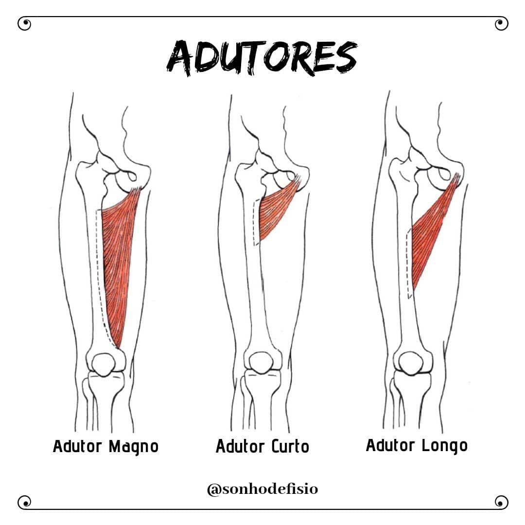 Musculos Adutores Magno Curto Longo Referenci