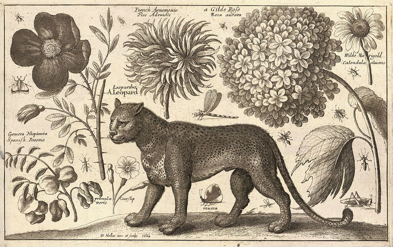 Wenceslas Hollar - Leopard And Flowers