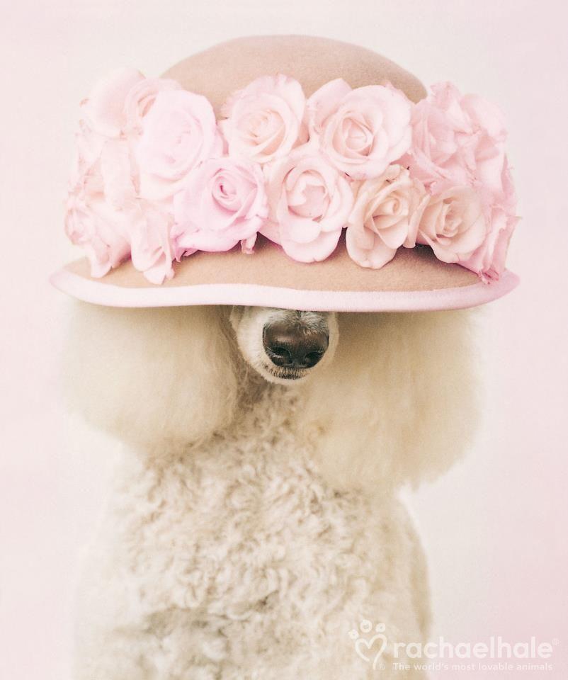 Sassy poodle!