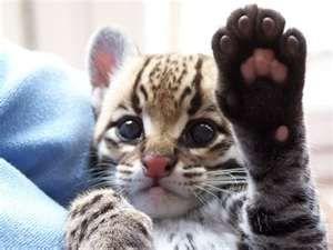 Baby Ocelot!