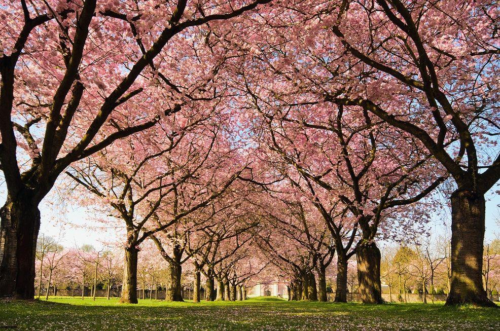 Pin By Alora Clark On Rosa Japanese Cherry Blossom Cherry Blossom Tree Japanese Cherry