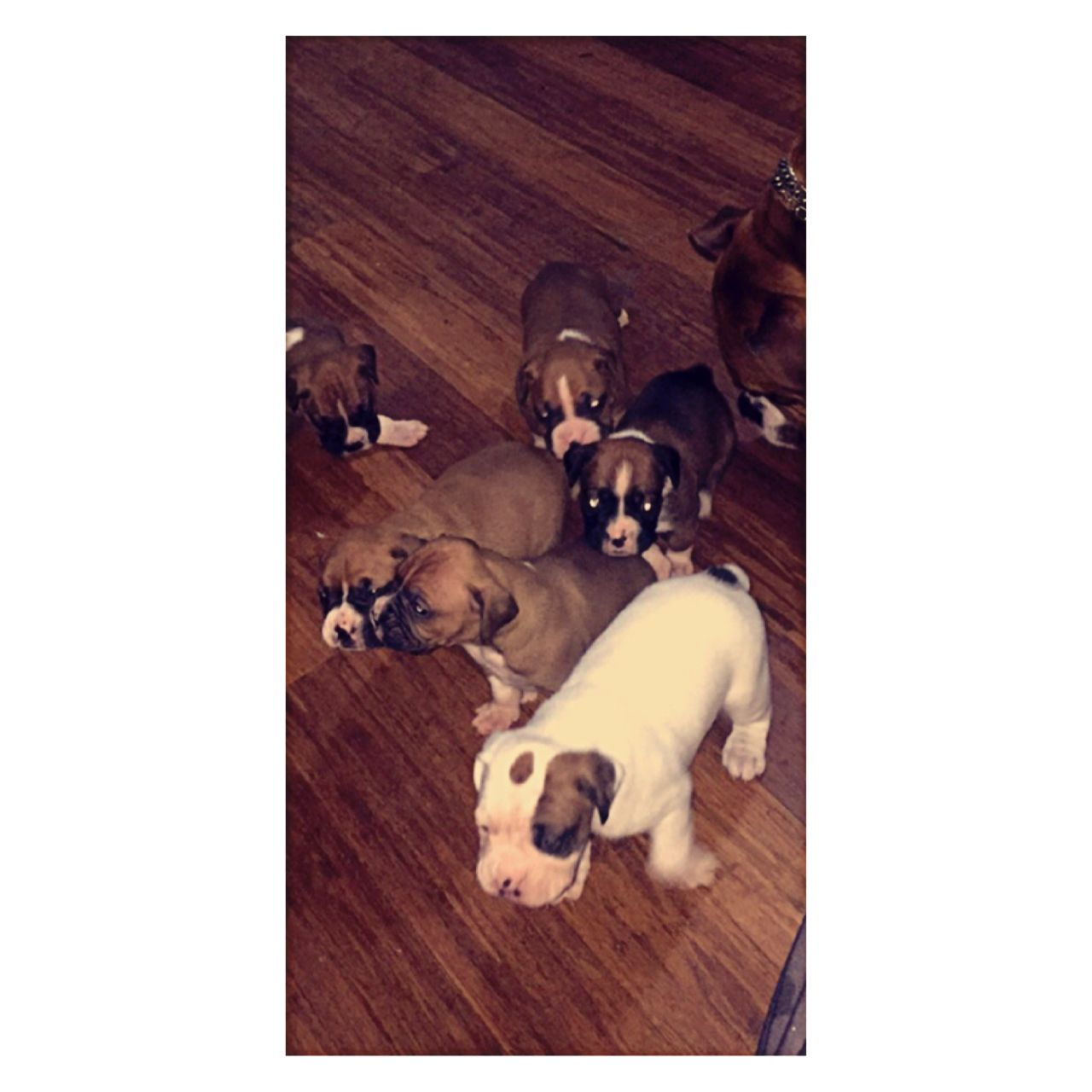 Boxer Puppies for sale in Connecticut CT 2034141615