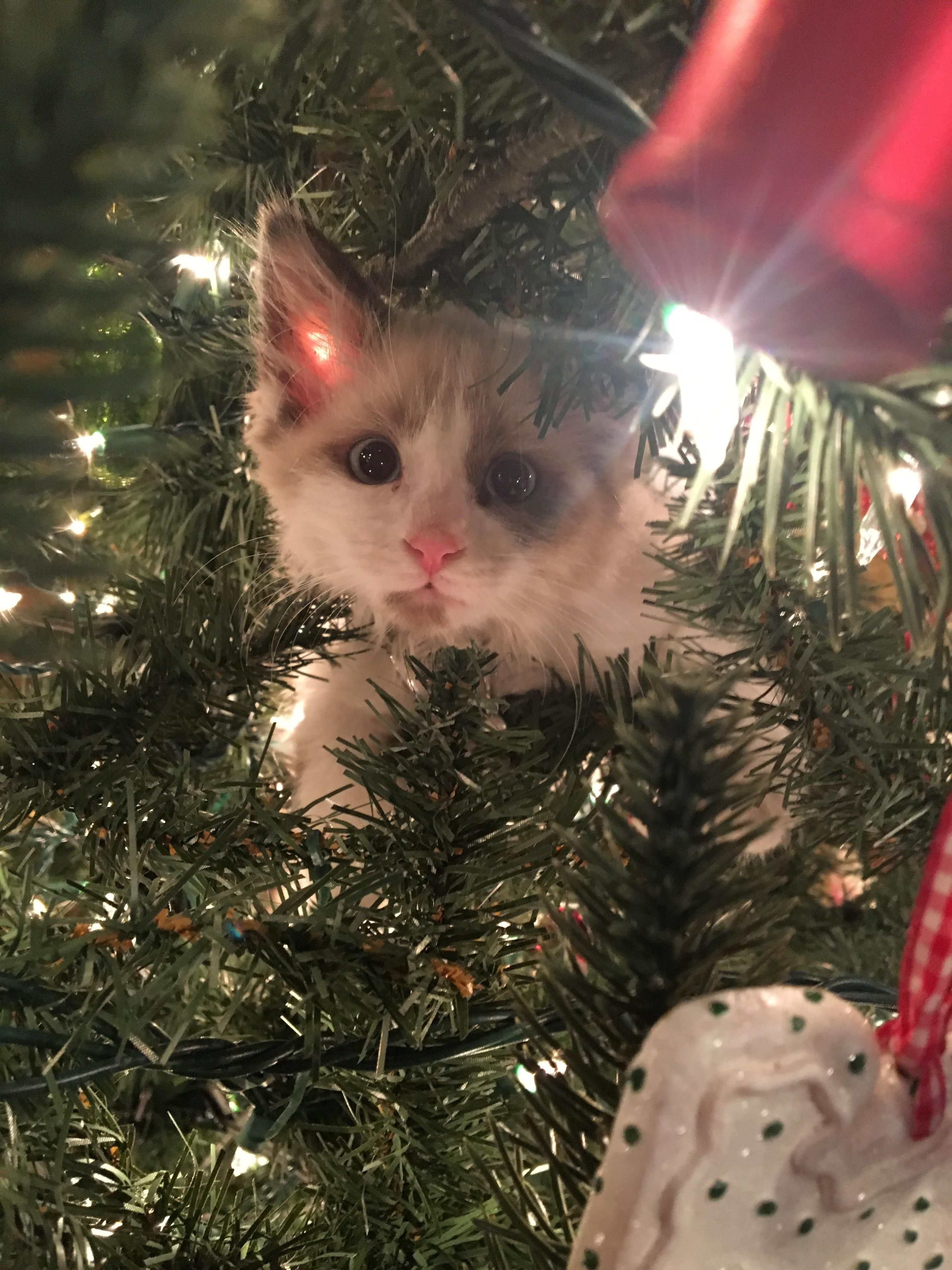 Merry Christmas From Pip She Loves To Hang Out In The Christmas Tree Http Ift Tt 2ieulcz Christmas Cats Cat Having Kittens Cats And Cucumbers