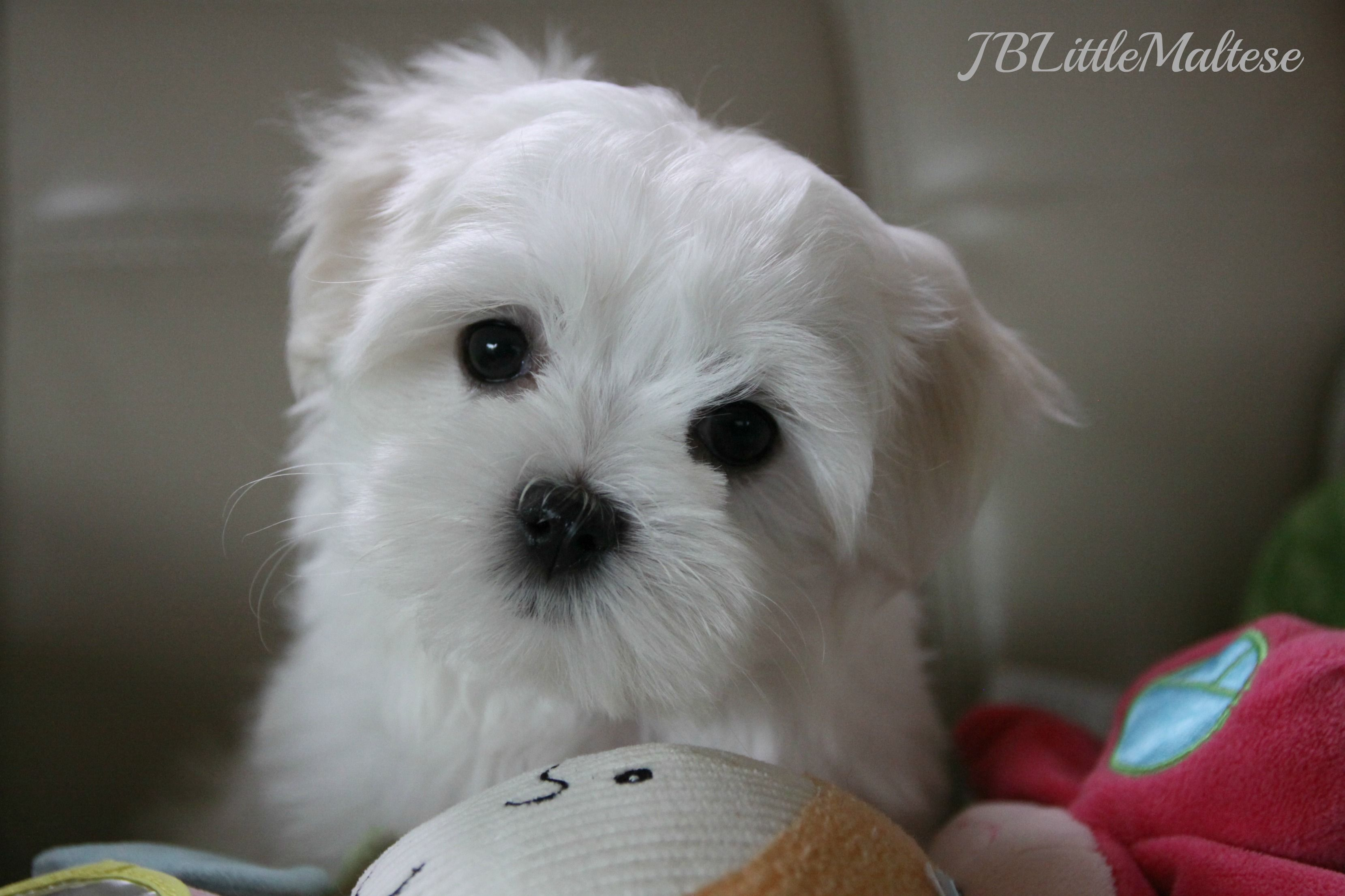 Pin By Paula Riddlebaugh On Teacup Puppies Teacup Puppies Toy