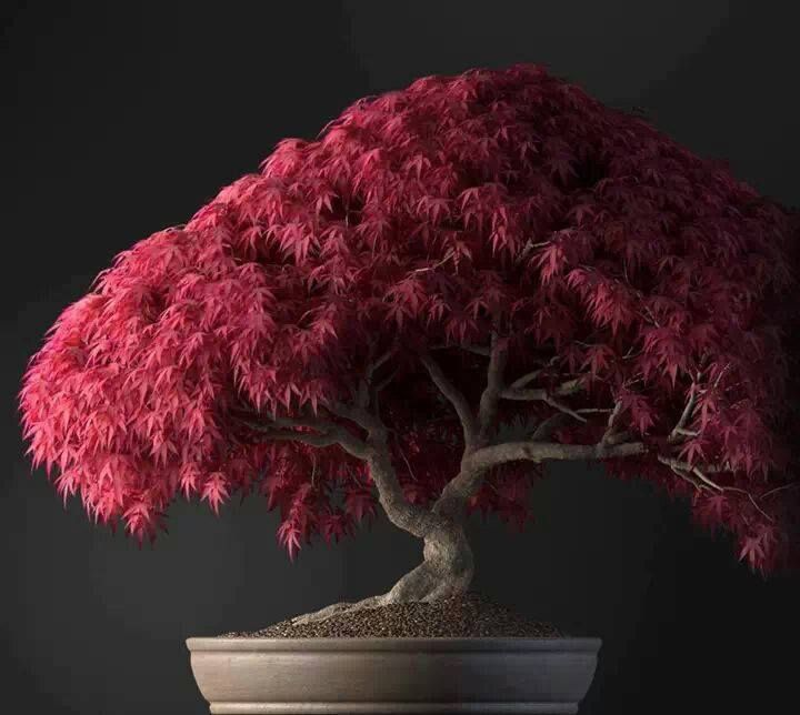 Where should you buy bonsai trees for sale? Our website! Bonsai trees add color and fun to your home decor and this tree in particular maple will do the trick. Do you like it?