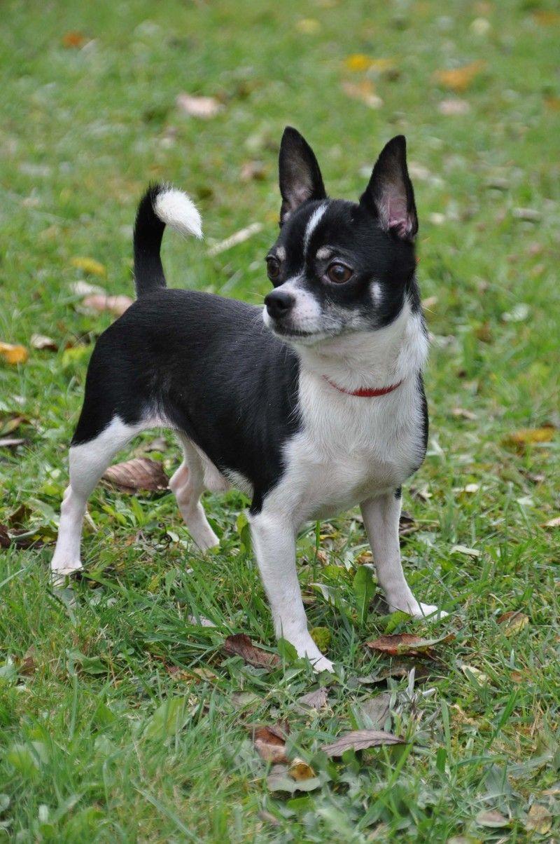 Adopt Oreo On Super Cute Animals Cute Animals Chihuahua