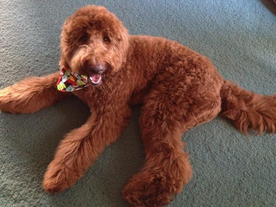 Red F1B Goldendoodle -...