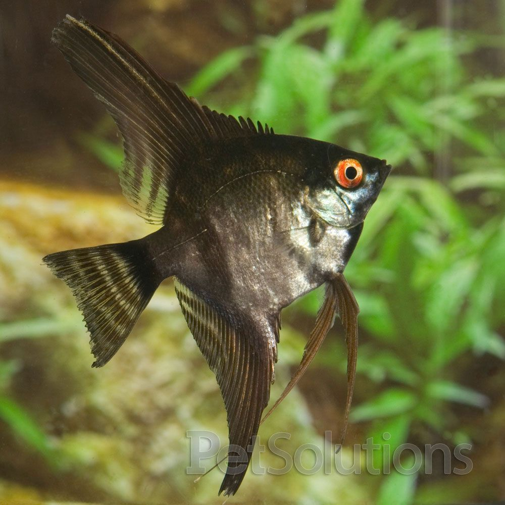 Black Angelfish | 18 Different Types Of Angelfish To Consider For Your Freshwater Fish