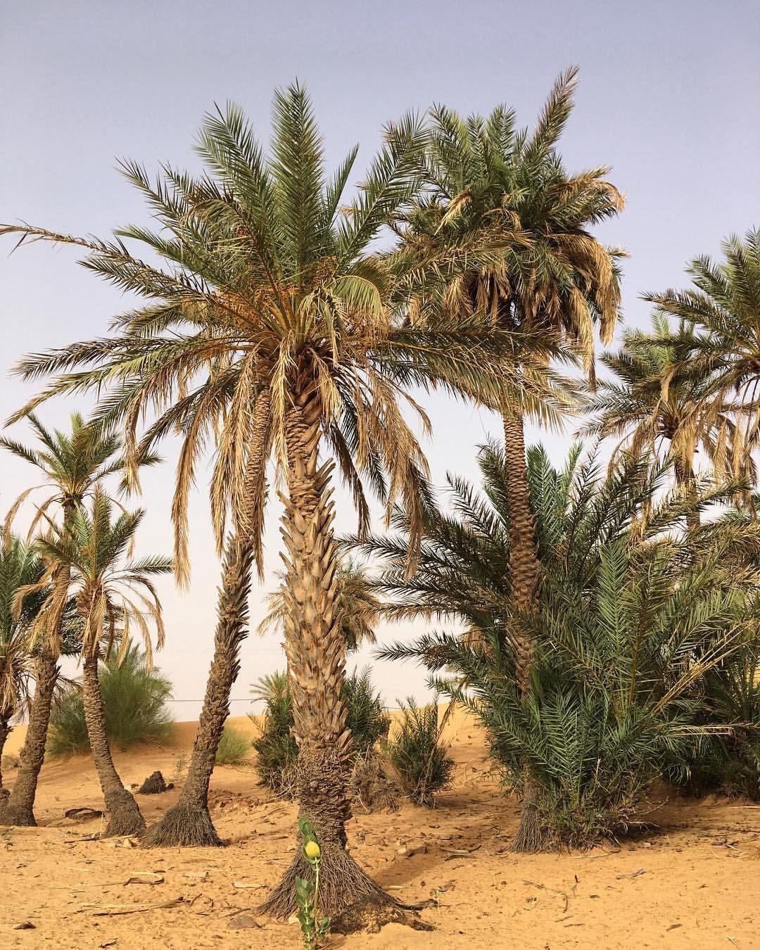 Palmerie Tidjikja Mauritania Africa Westafrica Mauritania Tagant Tidjikja Palmerie Dates Travelafr Africa Travel Cool Places To Visit Nouakchott
